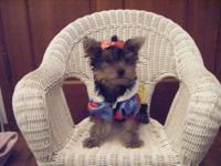This little Yorkie princess is now ready for adoption.