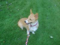 Adorable 18 month old Female Welsh Corgi! - CKC