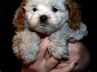 Stunning cockapoo young puppies born Nov 16,2014 will