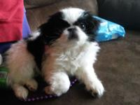 Very cute and smart female Japanese Chin puppy needs a