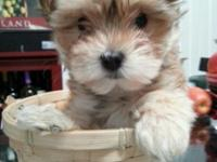 Absolutely Beautiful female Morkie Puppy for sale. This