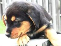 I have some awesome German Rottweiler puppies that have