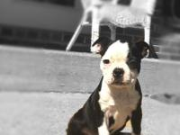 Sweet ACA registered Boston Terrier Puppy. We have one
