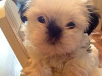 Sweet lil Stella is a an Imperial Shih Tzu. As you can