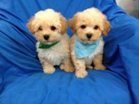 Beautiful Lhasapoo, 9 week old puppies. They are