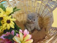 Precious lilac Persian baby available for adoption. I