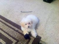 I HAVE AN ADORABLE LITTLE FEMALE MALTIPOO THAT YOU WILL
