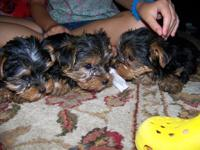 CUTE, LOVING, AND VERY KID FRIENDLY LITTLE YORKIE