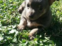 We are providing 2 complete blood Chihuahua puppies for