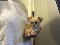 Absolutely Gorgeous malti-poo 6 months and a week old,