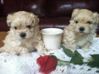 First Generation Maltipoo, AKC Registered Maltese Dad &