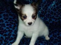 We have a valuable male Papillon puppy available for