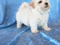 Adorable 8 week old cream colored Malti-Poos. 2 boys