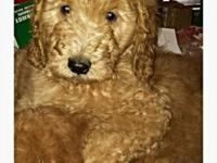 The cutest Miniture Goldendoodle puppies you'll ever