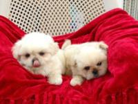 Adorable, 8 week old Peekapoo young puppies. These are