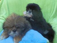 4 precious playful 8 week old Shih-Tzu puppies.$300.00