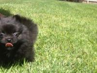 Chad is a black brindle Pomeranian with the sweetest