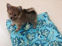 Precious tiny Pomeranian puppy, born 6-23-15 ready for
