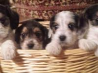 These perfect pups are half poodle and half beagle, for