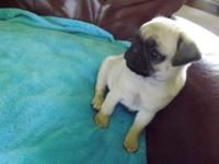 Precious AKC pug puppy , loves to play and loves