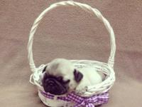 We have a few Pugs left that do not have deposits on