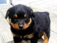 Precious Rottweiler puppies for good home For more