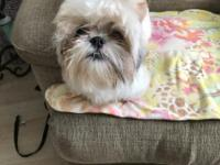 Looking to re-home 13 month old Shih-Tzu to loving