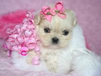 Take a look at our beautiful Shih-Tzu babies. We have