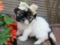 How precious! This litter of Shih-Tzu have such lovely