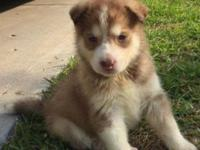 Siberian husky ready to new home with first deworm and