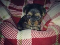 I have 2 charming yorkie lady new puppies. Both 8 weeks