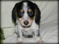 Ryder is an absolute cute 8 week old Longhaired Black