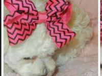 I have a precious tiny toy female poodle for sale. She