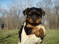 This little guy is wonderful! He is from a litter of