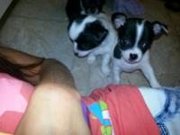 3 precious and sweet Toy Chihuahua Puppies. 2 Long hair