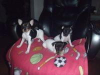 Adorable Toy Fox Terrier Puppies 6 weeks old (birthed