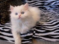 PRECIOUS,SWEET SOLID WHITE BLUE EYED PERSIAN