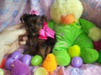 Ready for a new home!!!!! Precious SILK COATED yorkie