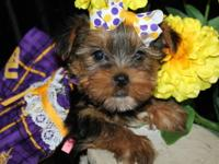 Yorkies, Yorkies, Yorkies!! We have both male and
