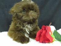 Lovely Shih Tzu babies! They are micro cracked, vet