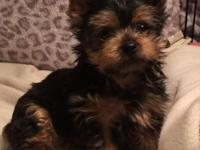 Two adorable AKC registered yorkie male puppies. Born