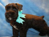 Stunning Black APRI-registered Male mini schnauzers.