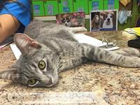 My story Precious - 1-2 year female gray tabby - loves