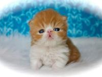 Beautiful, healthy Persian kittens available to loving