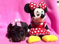 Little Paris is a lovely little female Yorkie Poo. She