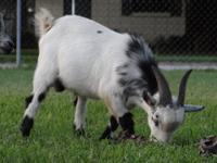 Bella: Pregnant Pygmy Goat Doe for sale or trade.