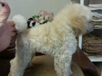 White Toy Poodleplease read ad thoroughly 2 year old
