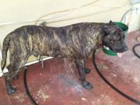 I have a pure breed very nice strong presa canario for