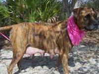 Presa Canario - Daisy - Medium - Adult - Female - Dog I