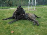 Male Brindle Presa Canario. 18 months old, 140 pounds.